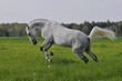 The white horse plays a meadow