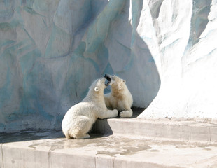 Two polar bear
