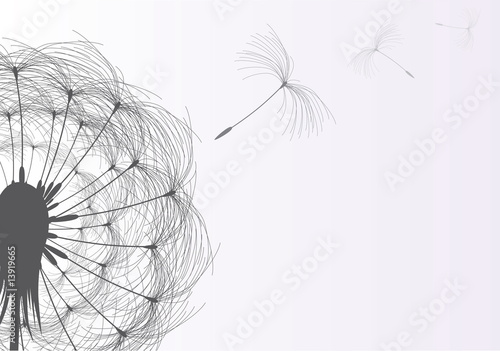 Blow Dandelion On Gray Background