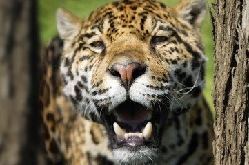 Closeup of a leopard