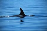 Dorsal fin of killer whale poster