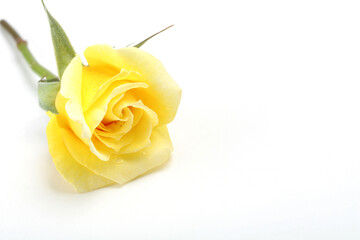 Single Yellow Rose on White Background