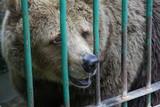 bear in captivity poster