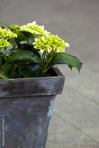 Foto op Plexiglas Hydrangea hortensia