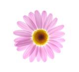 pink marguerite - 13939060