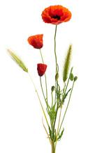 Image d'un coquelicot sur un fond blanc, bouquet champêtre