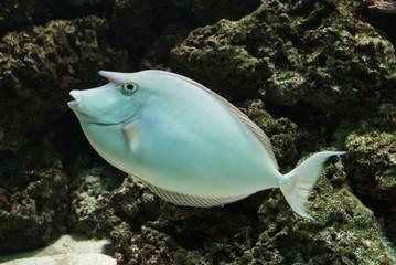 Unicorn Surgeonfish