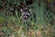 Young common raccoon hiding in tall grass