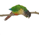Green-cheeked Conure 9 poster