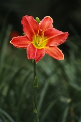 Blooming Day lily