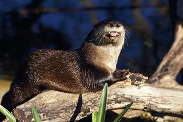 River otter on driftwood