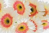 White and pink Gerberas