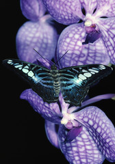 Clipper Butterfly on Orchid