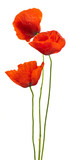 floral design - poppies isolated on white background - 13951081