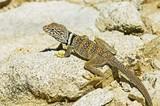 A Great Basin collared lizard (Crotaphytus bicinctores) poster