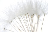 soft white dandelion seeds - 13956298
