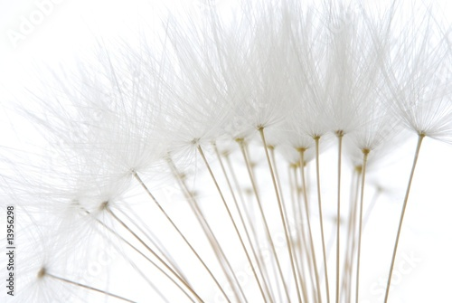 soft white dandelion seeds - 13956298