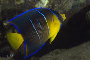 Juvenile Blue Angelfish-Holocanthus bermudensis