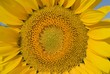 Andalucia, Spain; Sunflower, Helianthus Annuus