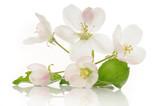 Fototapeta bianco - liść - Kwiat