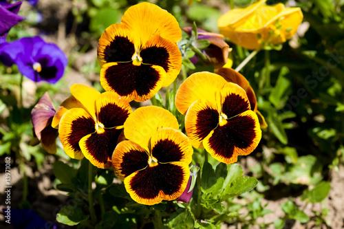 Fotobehang Pansies pansies - viola tricolor