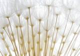soft white dandelion seeds - 13973275