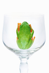 Red eyed tree frog in glass