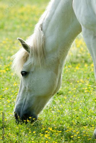 cavallo bianco al pascolo