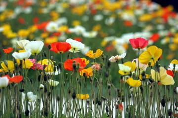 fiori colorati - papaveri
