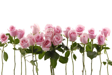 Isolated long stem roses