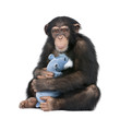 Young Chimpanzee with his teddy bear- Simia troglodytes (5 years