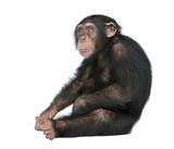 Young Chimpanzee - Simia troglodytes (5 years old) - 13997619