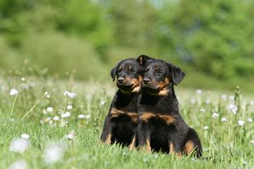 deux petits bergers de beauce assis l'un contre l'autre de face