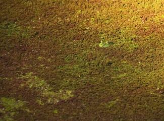 An American bullfrog hiding in duckweed..