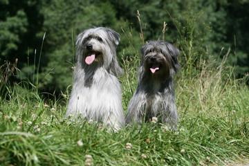 couple de bergers des pyrénées assis tirant la langue