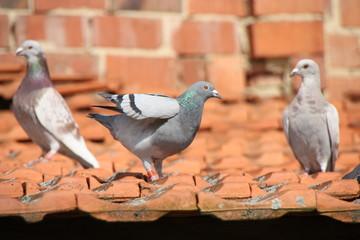 Tauben aufdem Dach