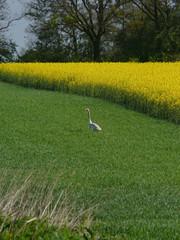 cygne chanteur dans un champ