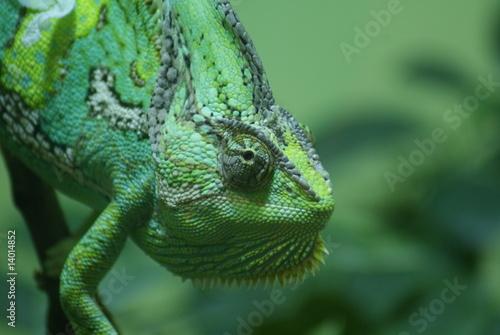Foto op Plexiglas Kameleon Desert Chameleon