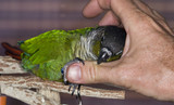 Green Cheek Conure gets an itch scratched poster