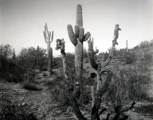 Dead Cholla and Saguaro