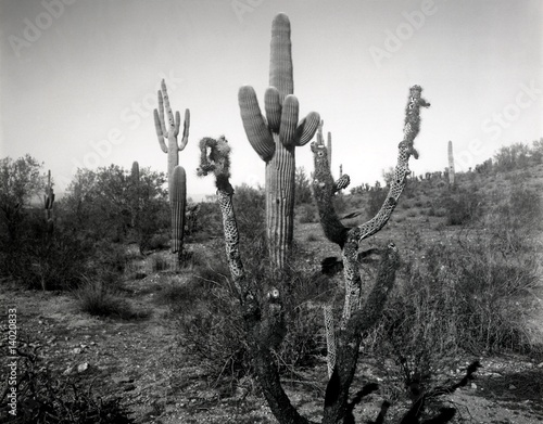 Dead Cholla and Saguaro