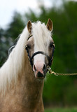 young purebred stallion of welsh pony poster