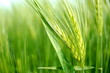 Leinwanddruck Bild - Getreide