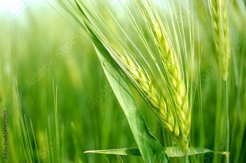 Leinwanddruck Bild Getreide