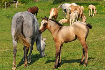 herd of horses with beautiful foals