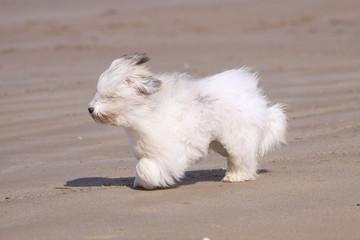 coton de tulear gambadant sur la plage - vent,plaisir,course
