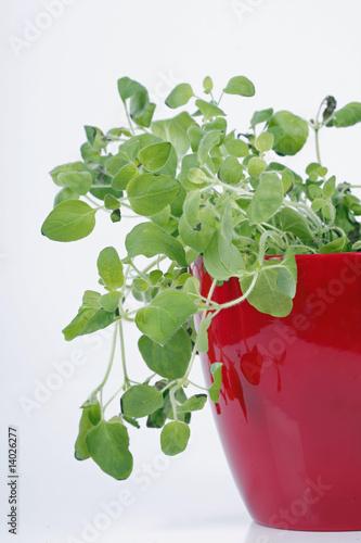Oreganopflanze