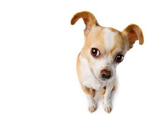 Chihuahua Eavesdrops with Big Ears