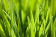 roleta: Grass