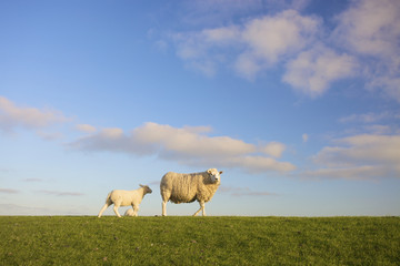a sheep and a lamb in a green field with a blue sky in summer